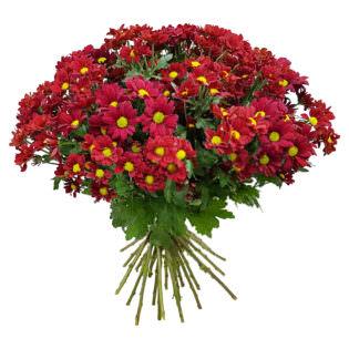 Хризантема кустовая красная